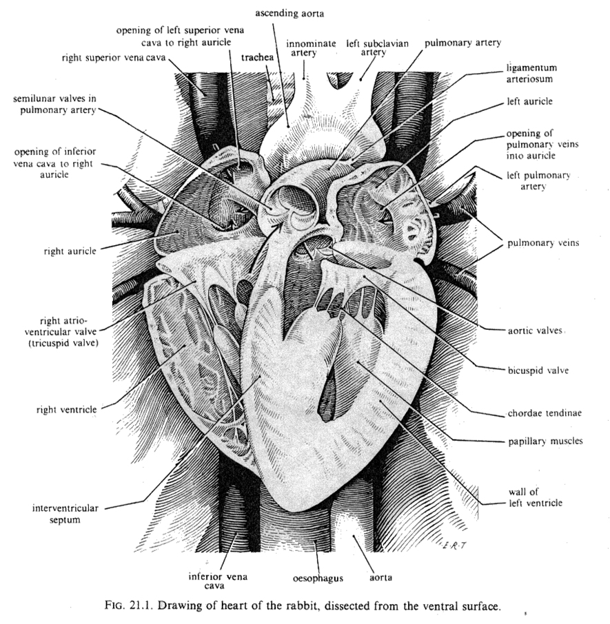 Horse Circulatory System also Human 20Anatomy in addition Cerebrospinal fluid further Cow Heart also Body Cavities. on cranial circulatory system