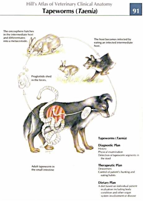 taenia anatomy