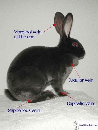 how to find the cephalic vein on a dog