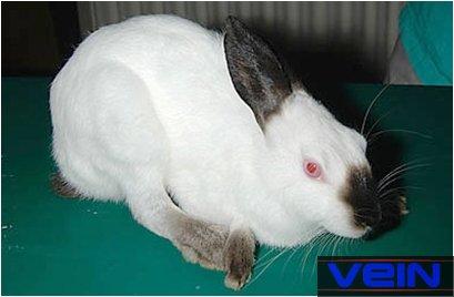 Medirabbit - Pinceau patte de lapin ...