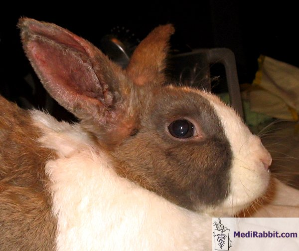 rabbit ear mite infection If this treatment ultimately doesn't work, i'll let you know, but from what i am  if  you've successfully treated rabbit ear mites, please do put a.