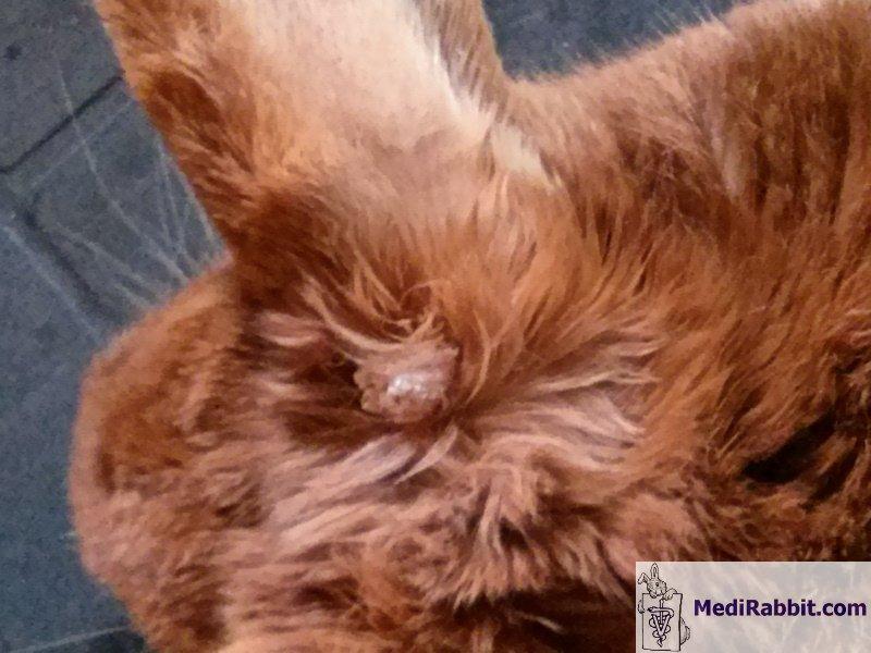 papillomavirus konijn plan de tratament cu paraziti
