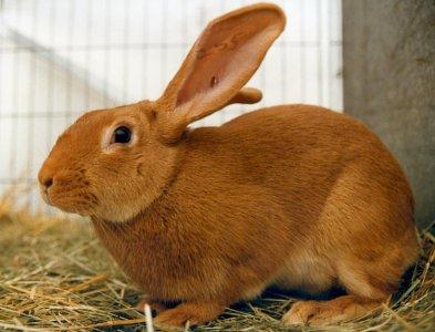 Giant Chinchilla Rabbit Medirabbit